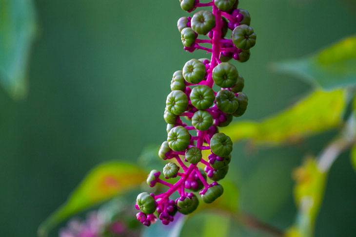 how to kill pokeweed with vinegar